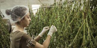 Marihuana Aktien